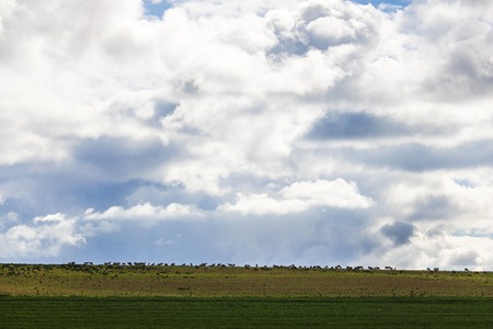Wide shot of sheep grazing in green field in Caledon, Western Cape, South Africa. Stock Photo