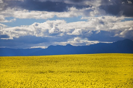 Canola flower field on a farm in Caledon, Western Cape, South Africa.