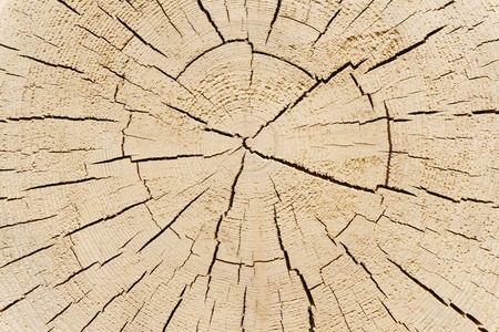 cross section of tree: Cross section of tree trunk. Tree trunk wood texture