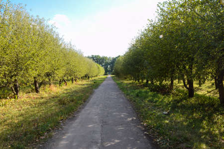 The road in the summer orchard between trees stretching into the distance into perspective. Without people, empty