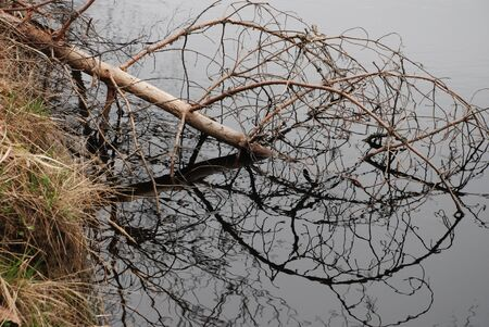 pinetree: pine-tree, fallen in the river