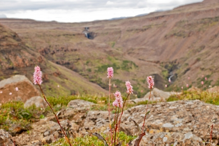 plateau of flowers: The Putorana Plateau. Flowers among the stones.