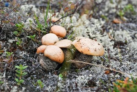 no pase: Al final del verano en la tundra de cultivos en todas partes visible de hongos. Reno no pase de largo.