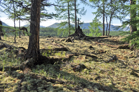 peaty: Summer landscape Yakutia clear. Moss, trees, mountains, the sky.