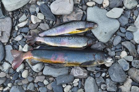 grayling: El pescado capturado antes, hab�a cocinado sopa de pescado. Grayling de Siberia.