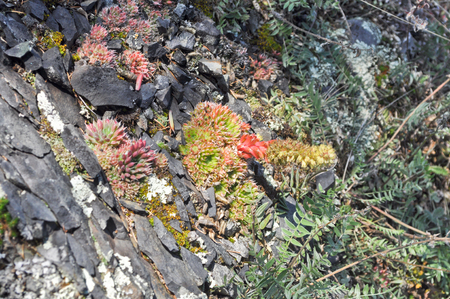 reminiscent: Saxifrage  Sparse vegetation of Yakutia sometimes reminiscent of exotic plants in the tropics