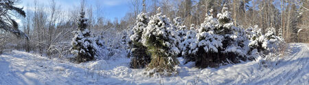 Panorama of snow-covered winter forest near Moscow clear January day