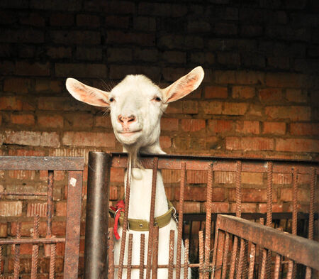 animal watching: Clever animal watching you  The white goat behind the barrier  Stock Photo