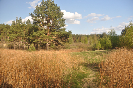 National Park  Meshchera  in the Ryazan region  The edge of a pine forest at the beginning of may  Stock Photo
