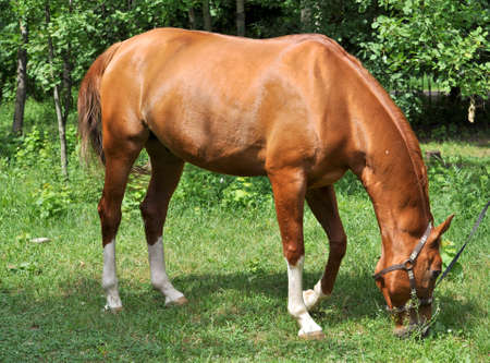 feasting: A horse in a forest glade. In early summer horse feasting on fresh juicy grass. Stock Photo