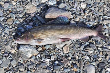 grayling: Grayling Europea. El �xito de la pesca en el Ural polar, Rep�blica Komi, Rusia.