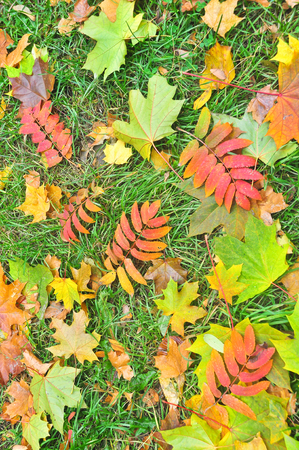 Fallen autumn leaves. A carpet of colorful leaves in October, lying on the grass. photo