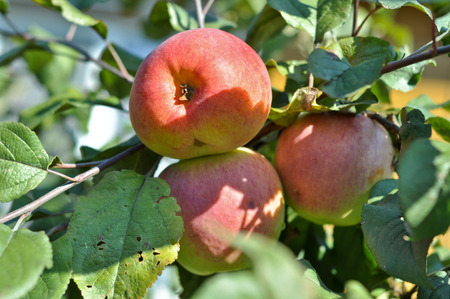 Apples ripen on the trees. Three reddening Apple among Apple leaves. Stock Photo
