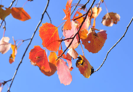 Red leaves against the sky. Autumn leaves are the adornment of suburban forests. Stock Photo