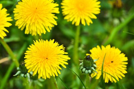 green meadows: Dandelions in the meadow. Bright flowers dandelions on background of green meadows. Stock Photo