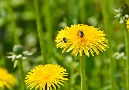 Dandelions in the meadow. Bright flowers dandelions on background of green meadows. Stock Photo