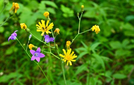 The flowers are bluebells and buttercups. Wild meadow flowers in early summer. Stock Photo