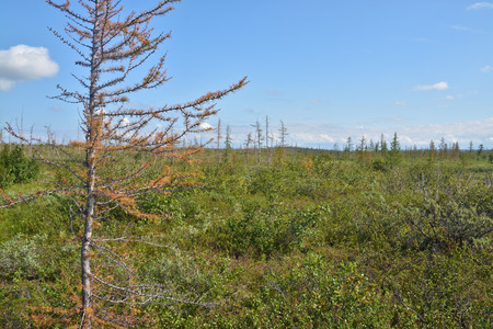 foothill: Yellowing larch in the Taimyr tundra. Foothill forest tundra in the Western Putorana plateau. Stock Photo