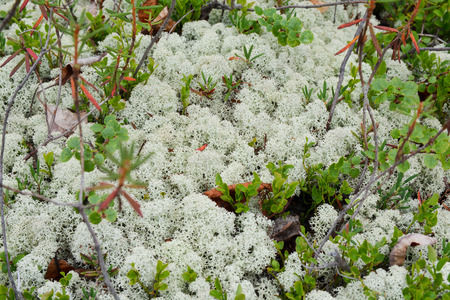 Background of moss and lichen. Tundra vegetation on the Putorana plateau, Taimyr, Siberia, Russia. Stock Photo