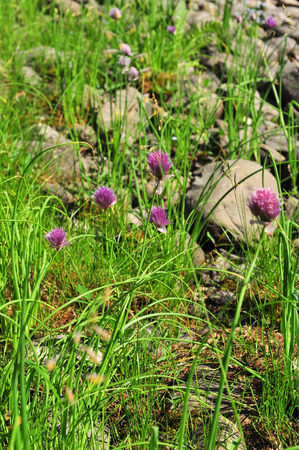 bulb and stem vegetables: Blooming wild onion that grows on the Putoran plateau, Taimyr Peninsula, Russia.