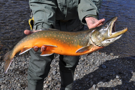 char: Mining fishing - Arctic char. Photograph of freshly caught salmon.