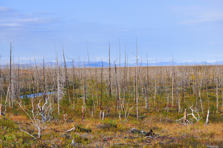 mmc: Dead forest on the river Fishing. Forest, killed the Norilsk metallurgical plant.