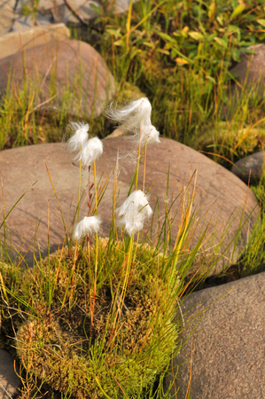 highlands region: Cottongrass is a plant of Taimyr. Clumps of cotton-grass among the rocks on the river Bank. Stock Photo