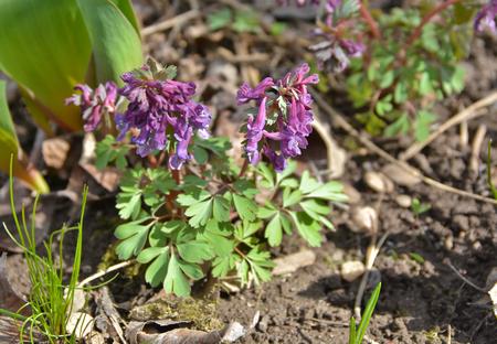 corydalis: Photos April the Corydalis cava, spring primroses near Moscow. Stock Photo