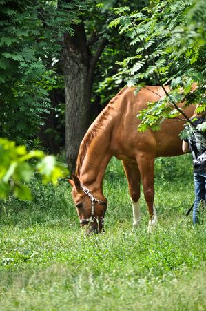 feasting: In early summer horse feasting on fresh juicy grass. The horse in the green forest.