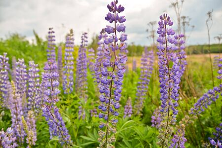 lupines: Blue lupine flowers. Blooming dikme lupines in the meadow in early summer.