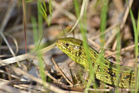 lacerta viridis: Green lizard in the national Park Meschersky. Head lizards among the grass.