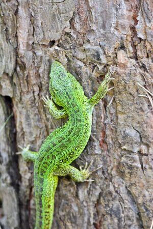 lacerta viridis: Green lizard in the national Park Meschersky. The emerald lizard on a pine tree.