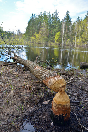 dumped: Wood, dumped the beavers. The beavers piled up a tree in a national Park.