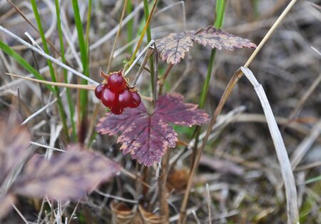 rubus: Rare tasty berries of the Russian North. Rubus arcticus. Stock Photo