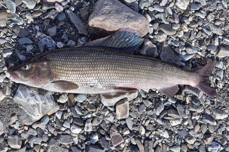 grayling: The European grayling. Half-meter grayling caught on the Ural river, lies on the coastal shingle.