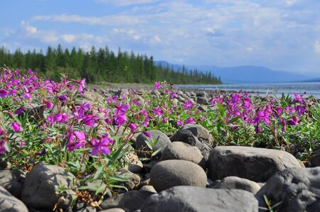 plateau of flowers: Flowers of fireweed on the cobblestones by the river. Summer landscape on the Putorana plateau, Taimyr, Russia. Stock Photo