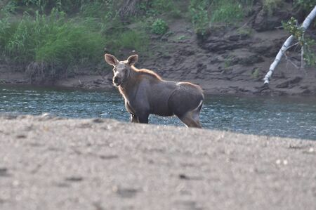 Young moose. Calf walking on the shore of the Siberian river.