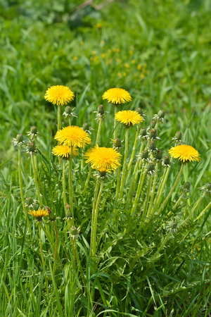 Blooming dandelions. Yellow flowers dandelions on a green summer meadow. Stock Photo