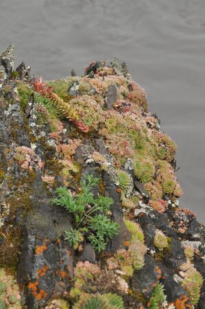reminiscent: Saxifrage. Sparse vegetation of Yakutia sometimes reminiscent of exotic plants in the tropics. Stock Photo