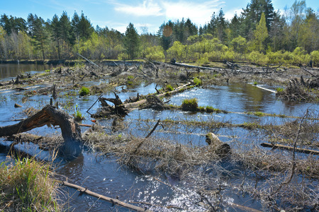 A blockage on the forest river. Spring river landscape in the national Park of Central Russia.