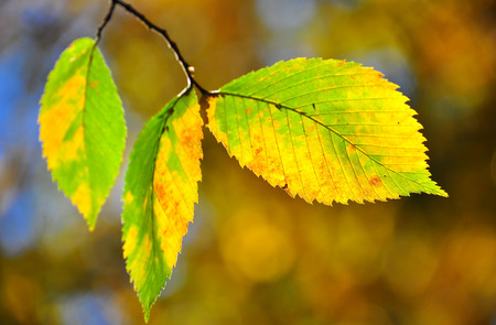 Bright colorful leaves decorate our parks autumn. Autumn leaves on the branches. Stock Photo