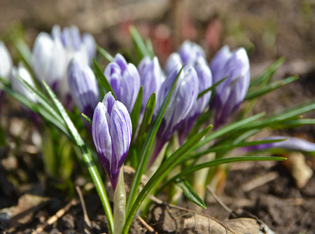 Photos of the April crocuses, spring primroses near Moscow. Stock Photo