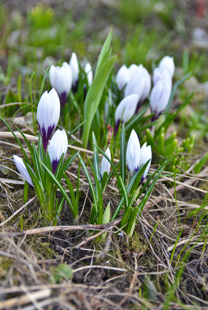 Photos of the April crocuses, spring primroses near Moscow. Reklamní fotografie