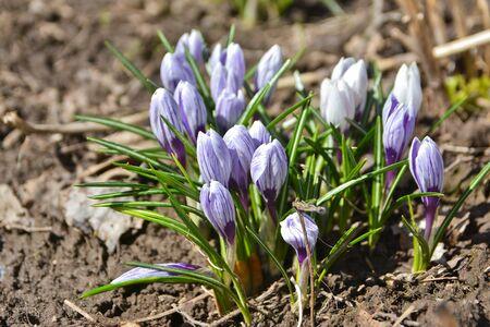 Photos of the April crocuses, spring primroses near Moscow. Stock Photo