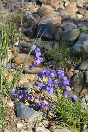 Wild flowering bluebells. Flowers in the national Park Yugyd VA.