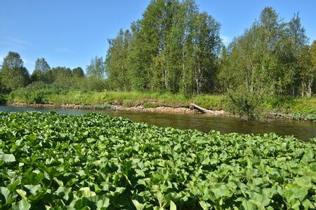 national forests: Summer river landscape in the Northern national Park. Virgin Komi forests, Russia.