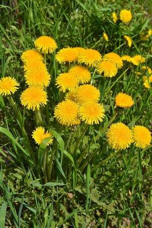 Dandelions in the spring meadow. Bright flowers dandelions on background of green meadows.