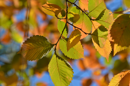 Autumn leaves on the elm trees. Autumn is the season of falling leaves and beautiful trees.