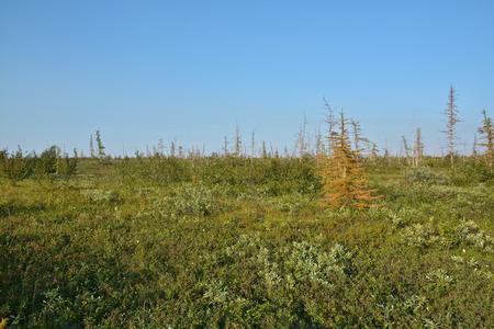 Tundra on the Taimyr Peninsula. Foothill forest tundra in the Western Putorana plateau. Stok Fotoğraf - 125607041
