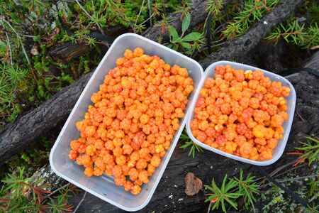 Cloudberries. Bowl with the collected fresh cloudberries. Putorana Plateau, Taimyr, Siberia, Russia. Stock Photo